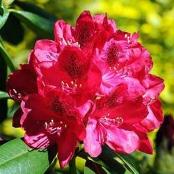 Рододендрон «Red Phododendron Shrub» саженцы в питомнике ПЛАНТСАД